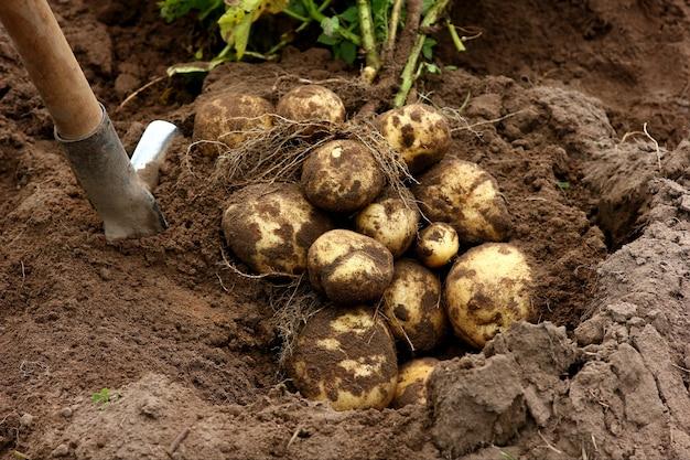 シャベルの背景にジャガイモの豊作