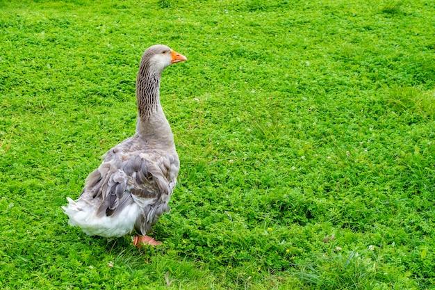 ガチョウは春に若い緑の草の上を歩きます。村の農場の灰色のガチョウ。テキストの場所