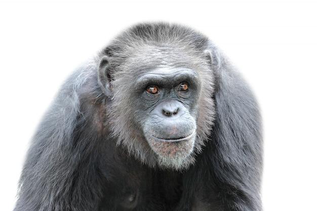 Изолированная горилла, крупный план