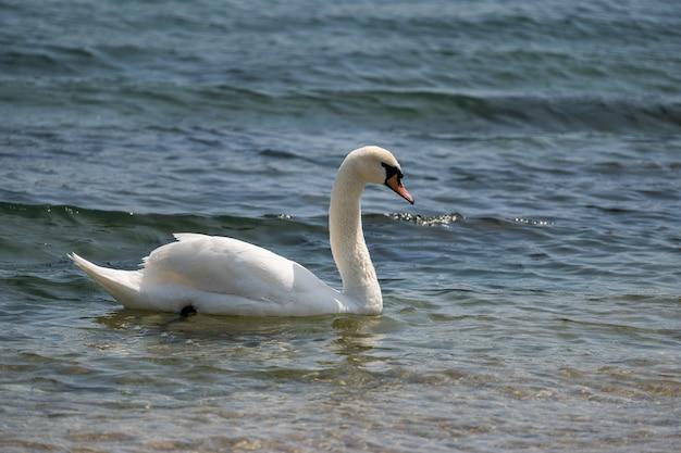 優雅な白い白鳥が湖のロマンチックな野鳥に浮かぶ Premium写真
