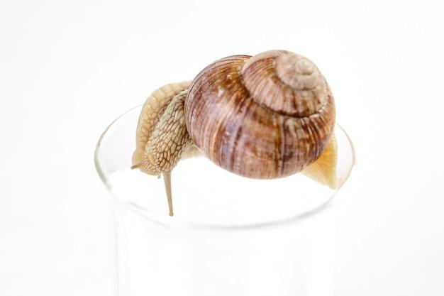 갈색 껍질을 가진 포도 달팽이는 흰색 배경에 유리 컵의 가장자리를 따라 크롤링합니다.
