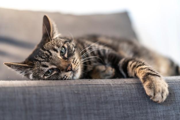 가정에서 아름다운 소파 위에 자고 회색과 흰색 고양이. 남자의 가장 친한 친구, 최고의 동물, 소중한 고양이