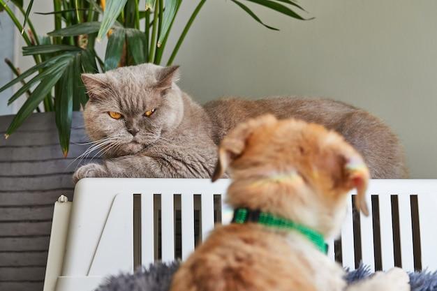 회색 영국 고양이와 앞에 초점이 귀여운 생강 강아지