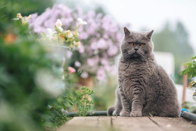 灰色の英国の猫は、緑の花壇の近くの木の歩道に座っています。
