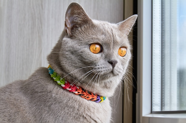 Серая британская кошка сидит на балконе и смотрит в окно