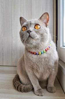 Серая британская кошка сидит на балконе у окна