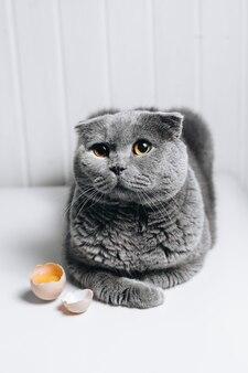 Серая кошка с милым взглядом сидит рядом с разбитым яйцом