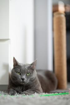 회색 솜털 고양이가 카펫 위에 녹색 장난감과 긁힘 기둥 옆에 놓여 있습니다.