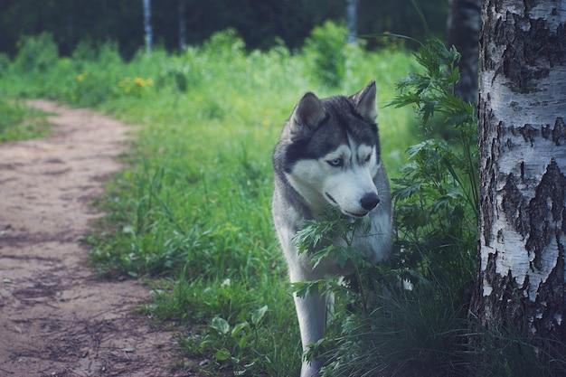 公園の小道の白樺の近くに灰色のハスキー犬が立っています。