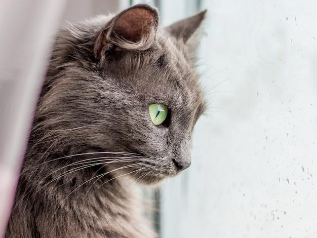 雨が降ると、灰色の純血種の猫が窓を見る。窓ガラスに雨の滴
