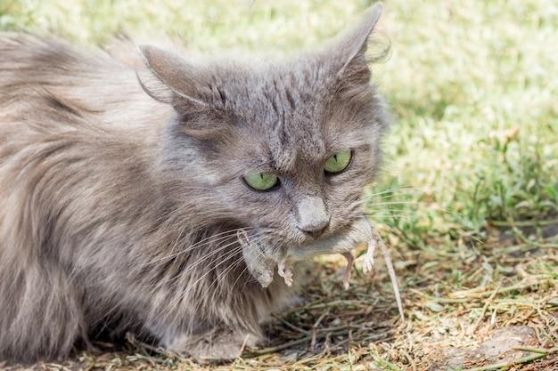 Серая киска поймала мышку, кот держит мышку во рту