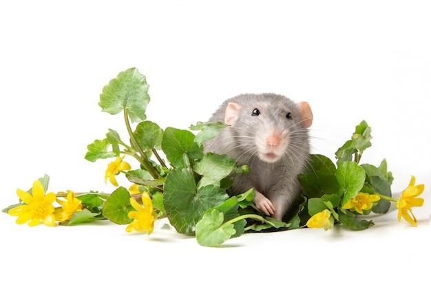 Серая крыса рядом с нежными полевыми цветами на белом фоне.