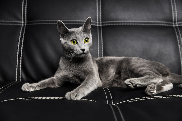 Серая русская голубая кошка лежит на кожаном черном диване