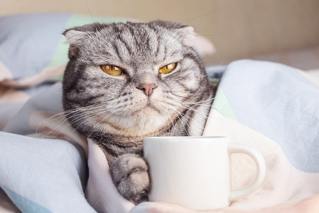 노란 눈을 가진 검은 줄무늬가있는 회색 스코틀랜드 폴드 고양이는 커피 컵과 함께 침대에 놓여 있습니다.
