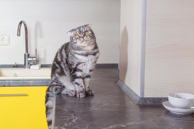 灰色のスコティッシュフォールド猫が台所のテーブルに座っています。ペットがテーブルに登るのをやめるという概念。