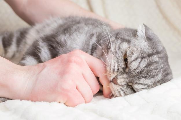 회색 줄무늬 스코티시 폴드 고양이가 남자의 손을 물다.