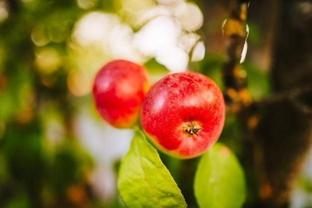 Зеленое и гнилое яблоко на ветке. фото высокого качества