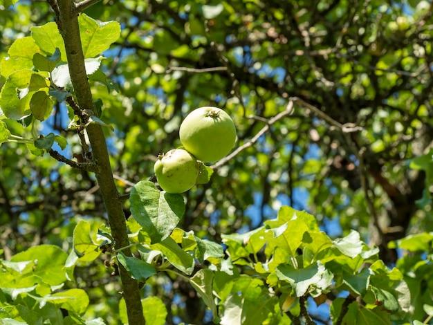 明るい晴れた夏の日に、緑のリンゴが木の枝にぶら下がっています