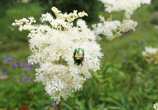 녹색 딱정벌레는 흰색 초원 꽃에 앉는 다.