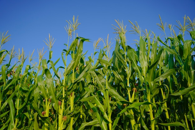 インドのトウモロコシのグリーンフィールド