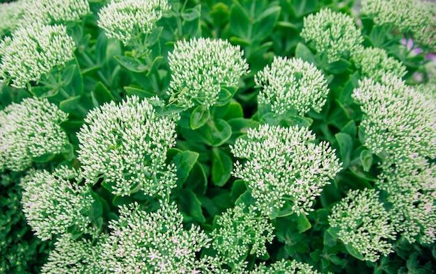 Sedum telephum 식물의 녹색 꽃 덤불. 정원 및 조경 장식. 흰색 무성한 꽃입니다.