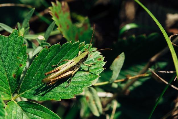 녹색 메뚜기 딸기 잎에 앉는 다.