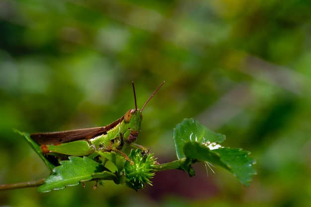더운 날에 녹색 잎을 먹는 메뚜기. 매크로 사진.