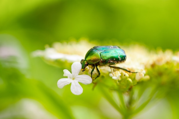 Зеленый майский жук сидит на цветке на натуральном зеленом
