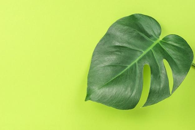 Зеленый лист монстера на зеленом фоне.