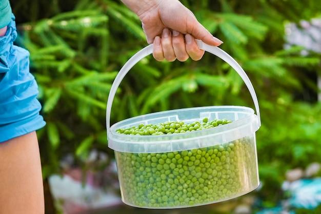 정원 배경에서 자연에 손에 녹색 완두콩