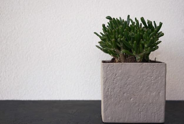 회색 돌로 냄비에 즙이 많은 녹색 식물이 흰 벽에 선다.