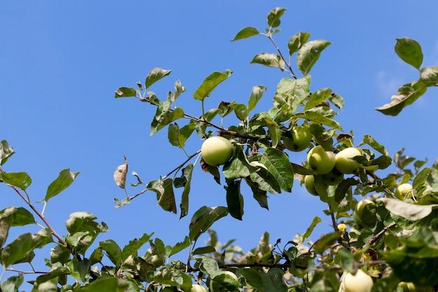 リンゴの木の枝にある緑の熟したリンゴ。秋の写真のクローズアップ