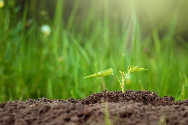 緑の芽が地面から出てきます。