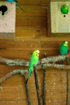 Зеленый полосатый попугай сидит на ветке