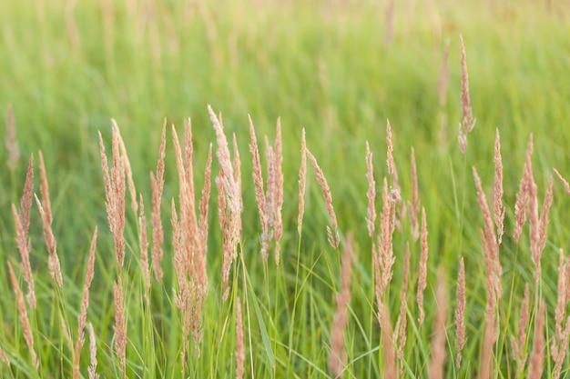 녹색 밀밭과 화창한 날입니다. 여름 수확. 필드에서 수확 작업입니다. 옥수수의 익은 귀.