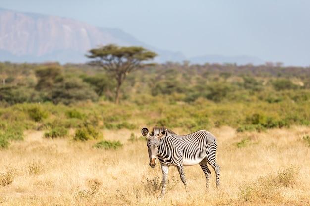 ケニアのサンブルの田舎でグレビーゼブラが放牧