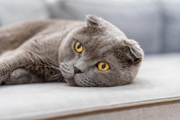 Серая британская кошка лежит на диване в современном интерьере