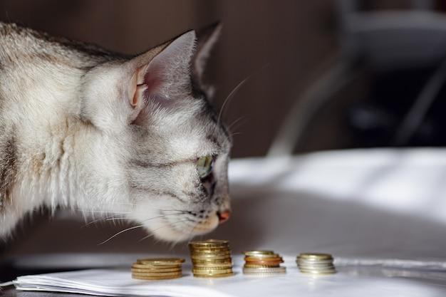 동전 더미를 보고 있는 회색 고양이. 돈을 보거나 절약하는 것을 제안하는 개념 이미지. 부자 고양이.