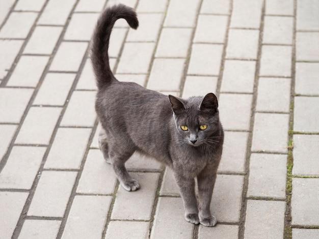 黄色い目をした灰色の優雅な猫が道を歩いています。