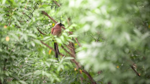 タイワンオナガは、ヒマラヤツリーパイとも呼ばれ、台北市の森林公園の枝の木に寄りかかって休んでいます。 dendrocitta formosaeは、台湾の雑食性の鳥です。