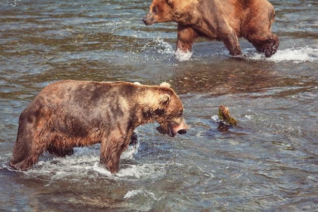 브룩스 폭포에서 연어를 사냥하는 회색곰. 알래스카주 카트마이 국립공원에서 해안가 갈색 그리즐리 베어스가 낚시를 하고 있습니다. 하계. 자연 야생 동물 테마입니다.