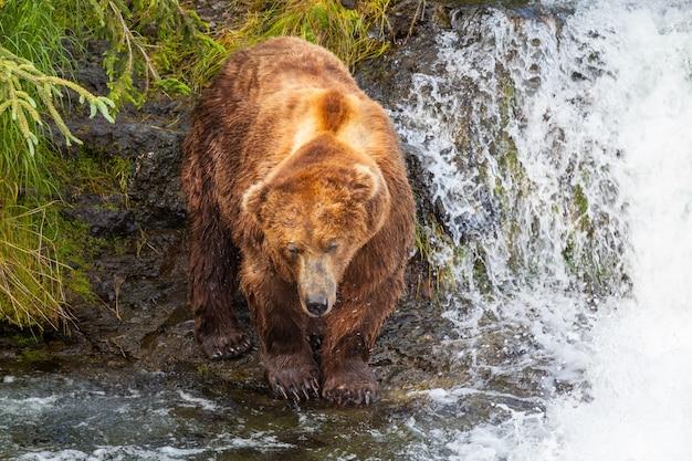 Медведь гризли охотится на лосося у водопада брукс. прибрежный бурый медведь гризли ловит рыбу в национальном парке катмай, аляска. летний сезон. тема естественной дикой природы.