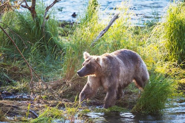 회색 곰이 브룩스에서 연어를 사냥하고 있습니다. 알래스카의 카트 마이 국립 공원에서 낚시하는 해안 브라운 그리즐리 베어스. 하계. 자연 야생 동물 테마.