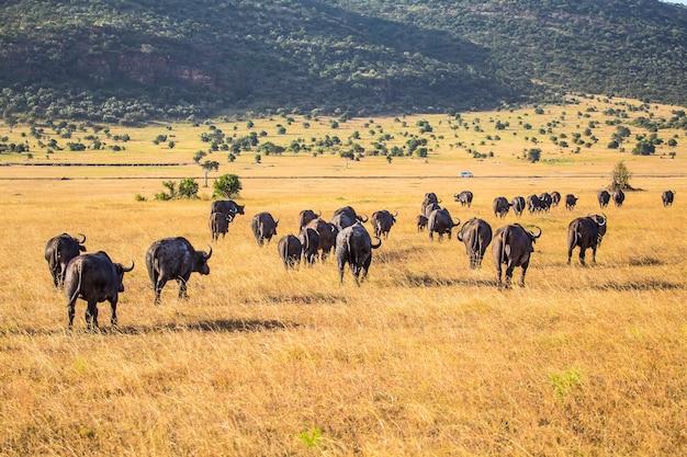 Группа африканских буйволов в национальном парке масаи мара, дикие животные в саванне. кения