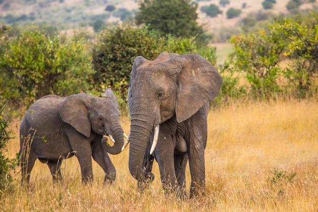 Группа африканских слонов в национальном парке масаи мара, животные в дикой природе в саванне. кения