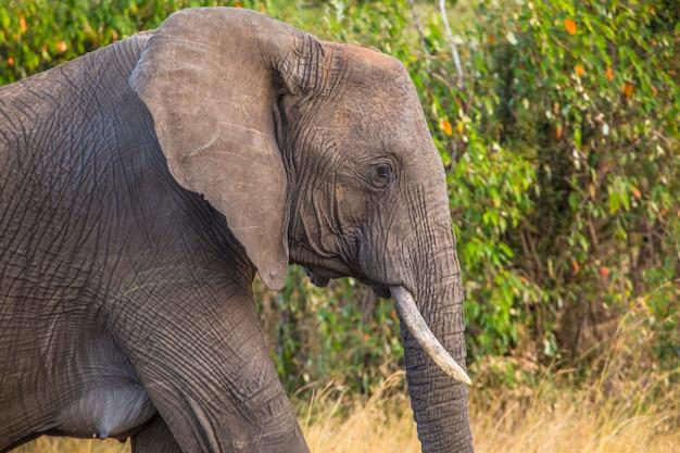 マサイマラ国立公園のアフリカゾウのグループ、サバンナの野生動物。ケニア