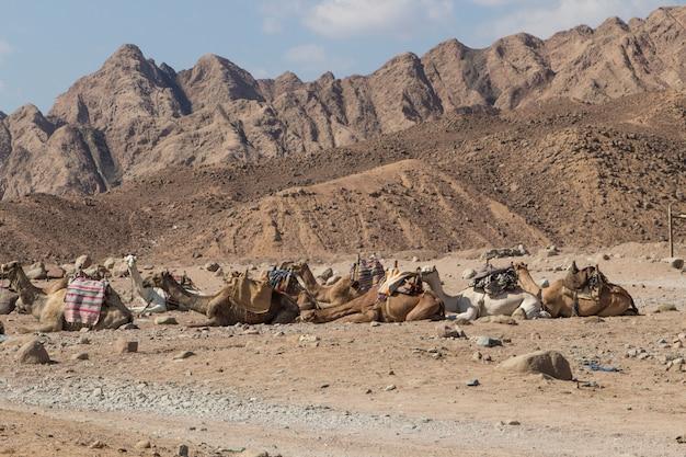 岩だらけの砂漠で休んでいるラクダのグループ。エジプト、シナイ半島。