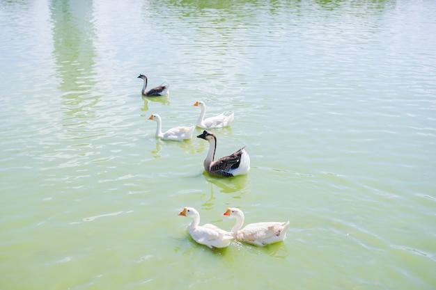 水に浮かぶカモのグループ