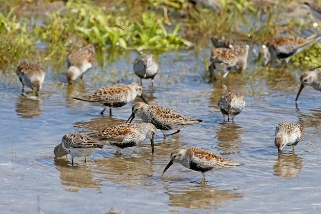 ハマシギのグループは、河口の青い海の浅瀬で餌をやります。