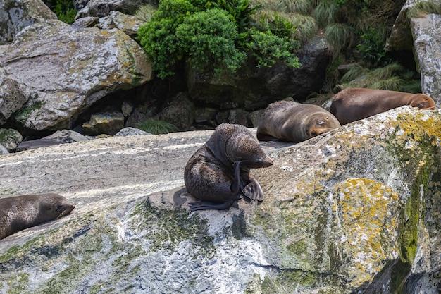 Группа морских котиков отдыхает на огромном валуне южный остров новой зеландии.